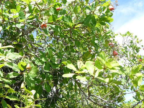 Дерево Кешью на Сейшельских островах