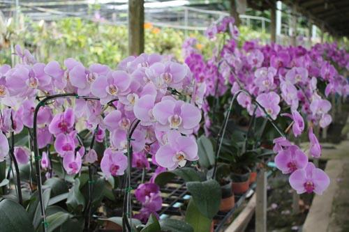 Плантация орхидей