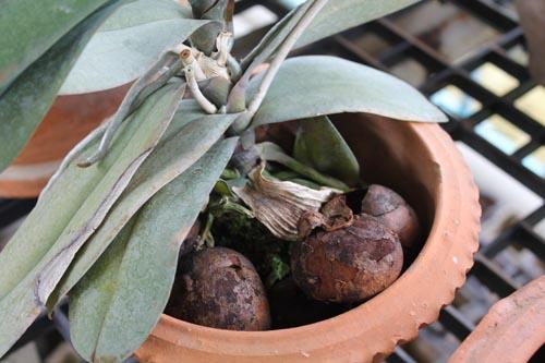 Грунт из мангостинов