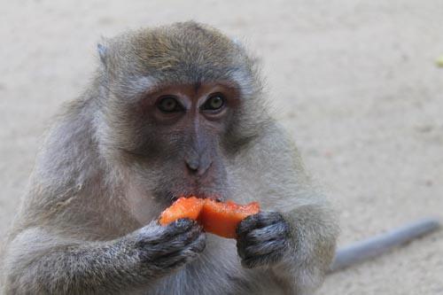 Обезьяна ест папаю