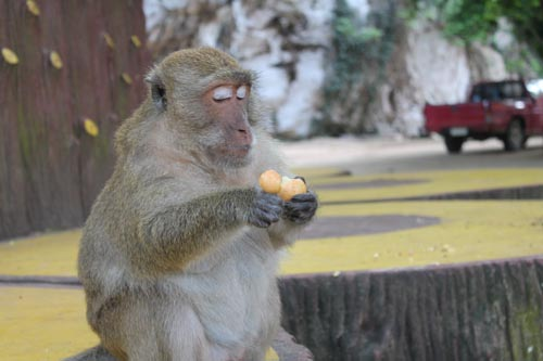 Обезьяна чистит фрукт