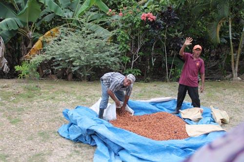 Заготовка какао в Доминикане