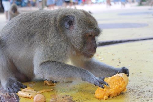 Обезьяна ест манго