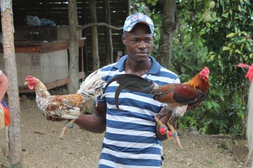 Бой петухов в Доминиканской республике
