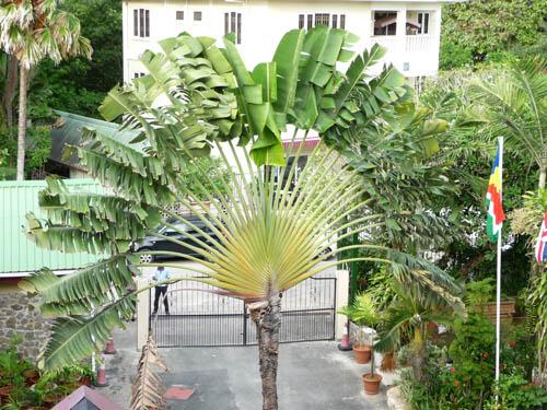 Гигантский веер на Сейшельских островах