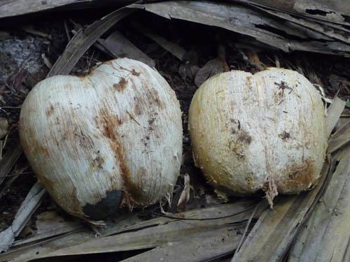 Только что очищенные кокосы на Сейшелах