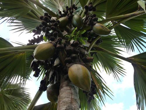 Кокосы на Сейшельских островах