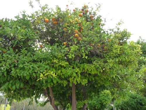 Апельсиновое дерево на Майорке