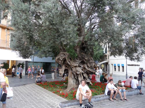 Обыкновенное дерево в Пальме