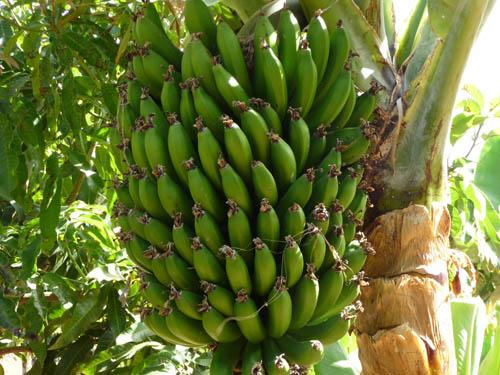 8_5-bananovye-plantacii.jpg