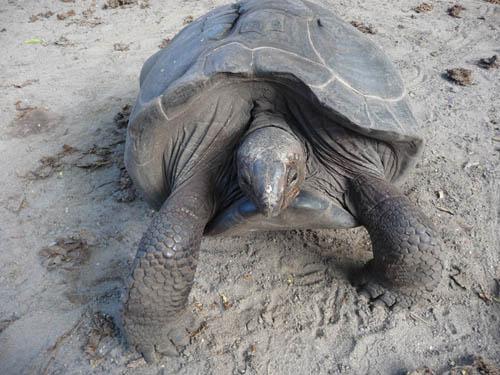 Черепаха на Сейшелах